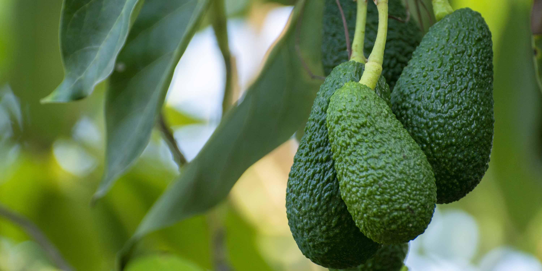 Australian Creams MKII avocado breather image