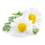 Camomile Flower Extract